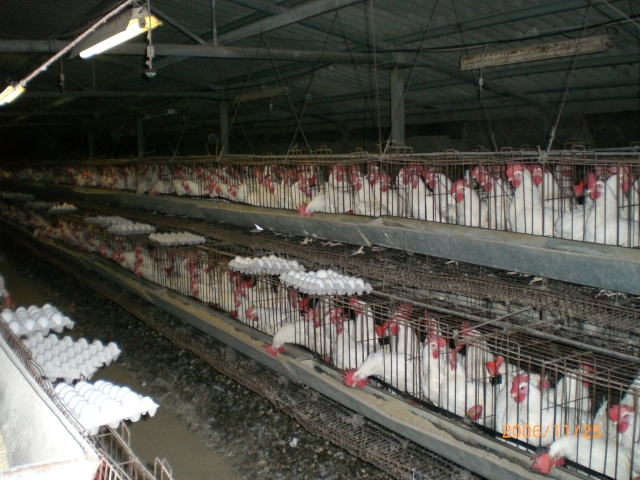 Battery Cages 01